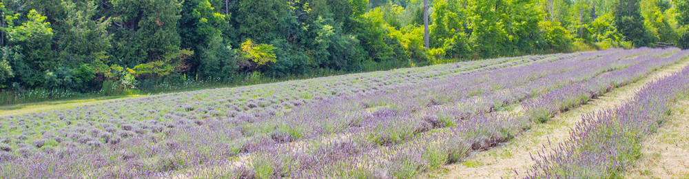 Lavender fields forever - the organically raised purple plants fade to the horizon.