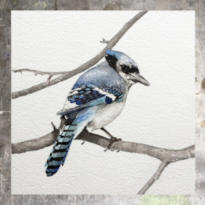 Bluejay - 5 x 5 on #140 Arches watercolor. Part of the 5 x 5 series. Available for purchase. $45 Found in my shop.
