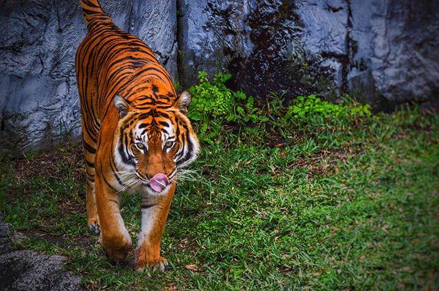 Tiger - Patrick Patterson 3/2016
