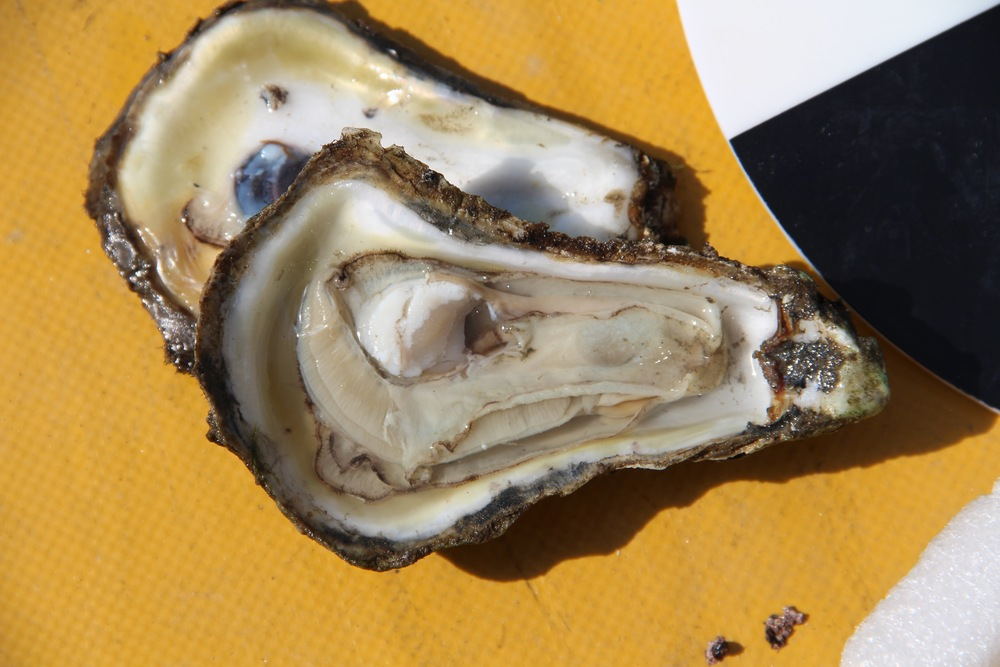Chesapeake oyster on the half shell. Image by Kate Livie