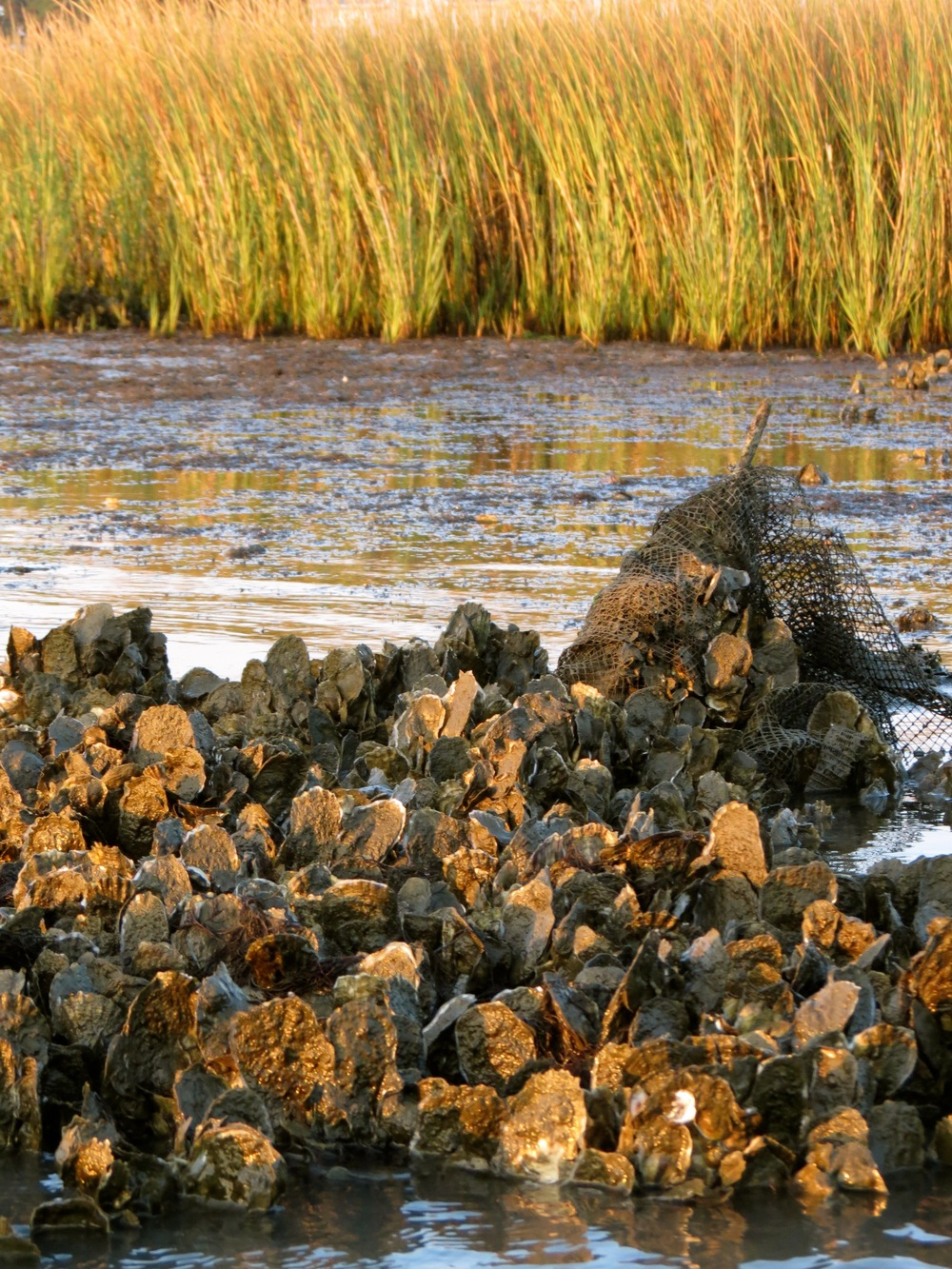 Natural Chesapeake oyster reef on Virginia's Eastern Shore. Image by Kate Livie