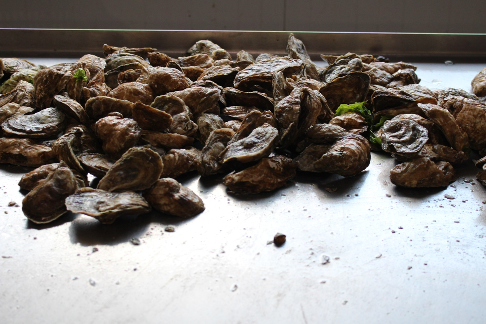 Farmed 'triploid' oysters at Ballard Oyster Company. Image by Kate Livie