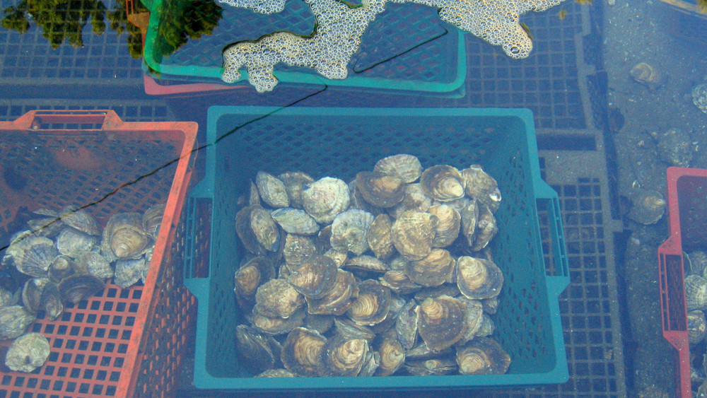 Edulis  Oysters in a claire at Belon. Image from wikimedia commons.