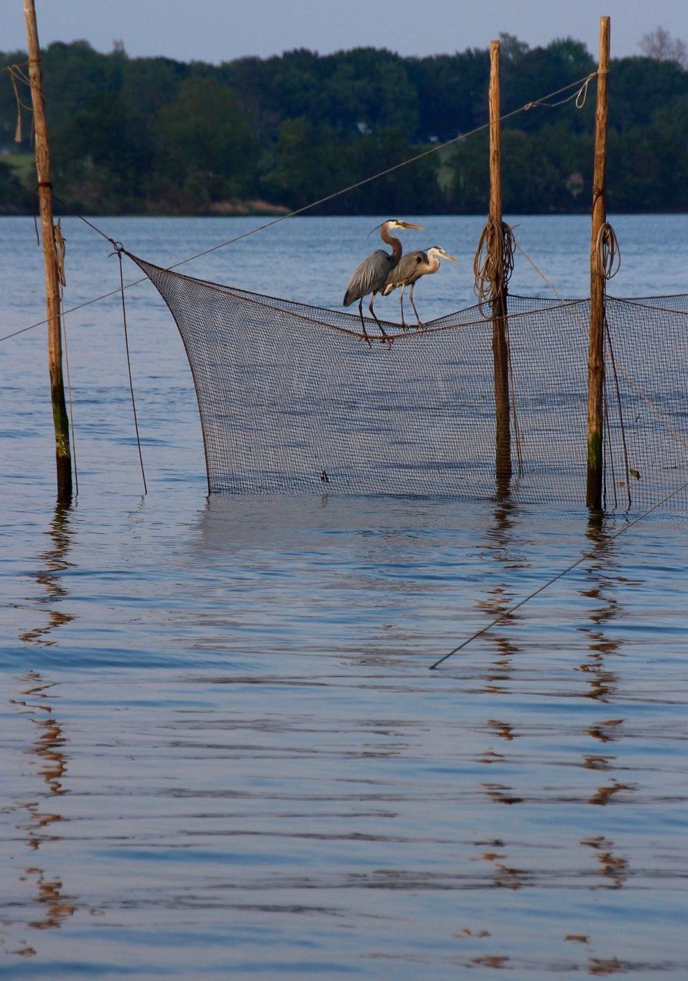 "A common sight on rivers during the midsummer around the Chesapeake Bay— pound nets. Used to trap fish, pound nets are one of the oldest gear types used by watermen in the Chesapeake. Made up of a stout poles strung with netting to create a series of funnels, pound nets can catch and hold thousands of fish once they're constructed. Native Americans along the Bay had their own version of pound nets known as ""weirs,"" which closely resembled the gear used by modern watermen. Herons, osprey, eagles and other fish-loving birds of prey are often thickly settled on the pound nets, poles and trees nearby— anything that will get them closer to the fish that seethe within.  Image by author."