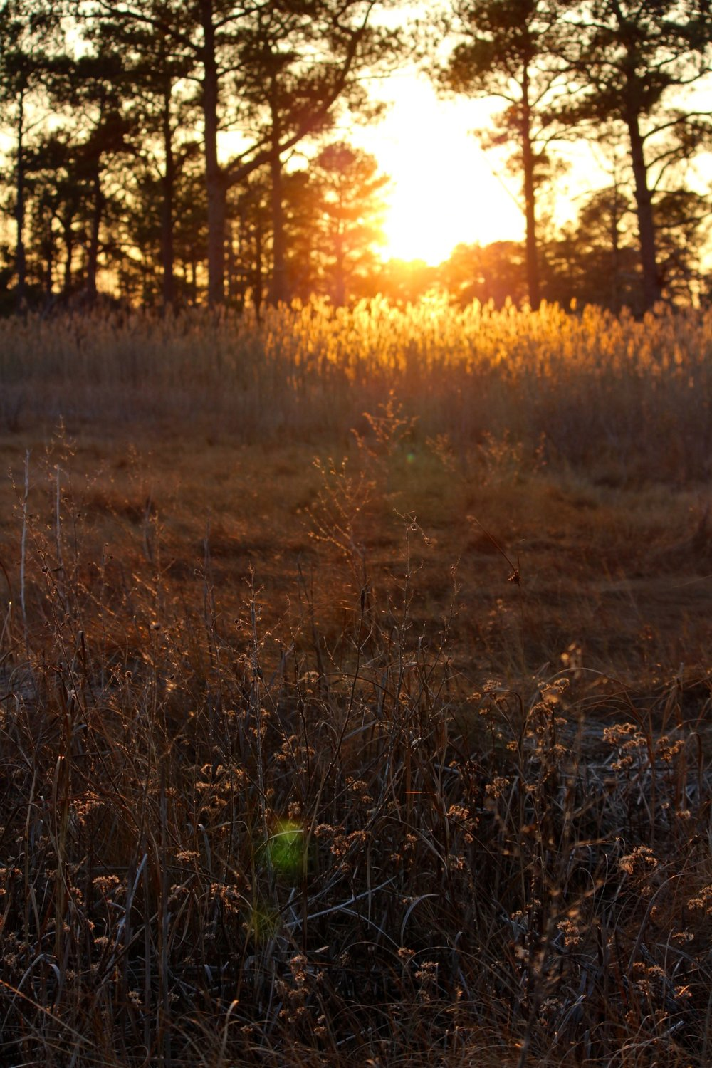 A golden winter sunset over a meadow of salt hay at Eastern Neck Island National Wildlife Reserve. Image by author.