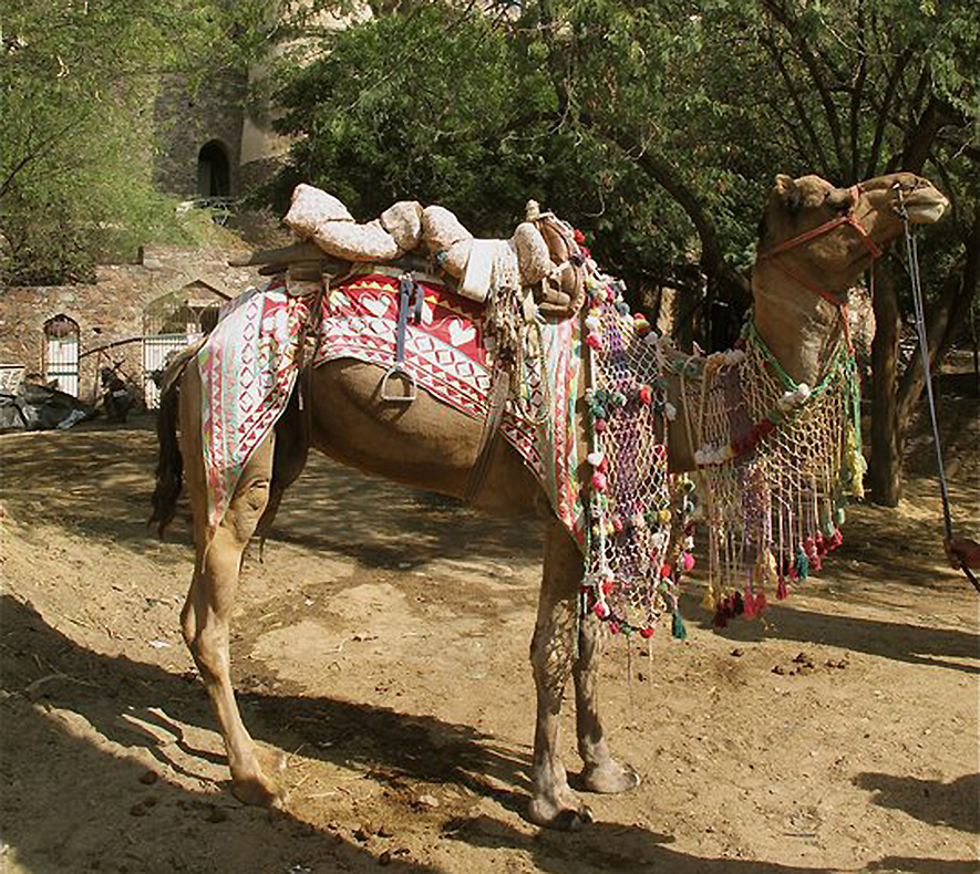 Jaipuri adornment was everywhere even on the camels.
