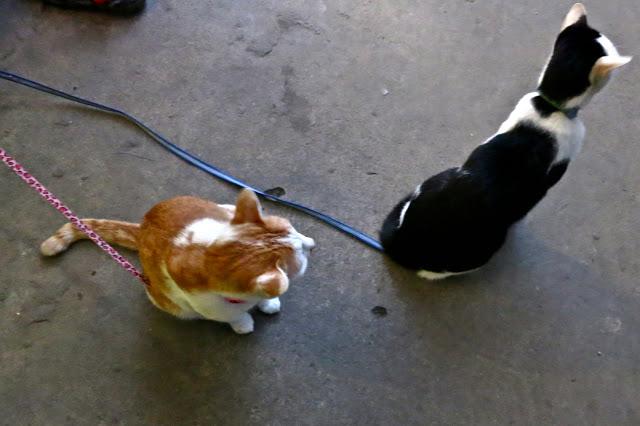 kitten cat thialand