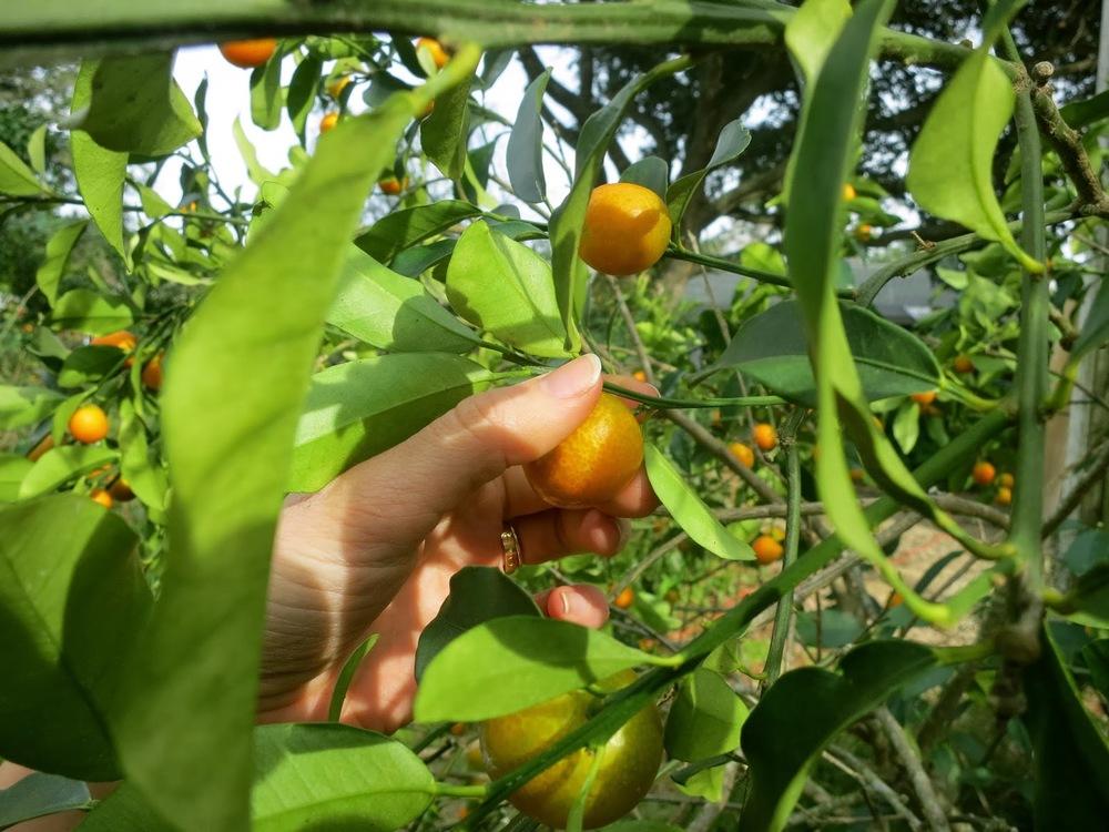 kumquat, plant, Citrus