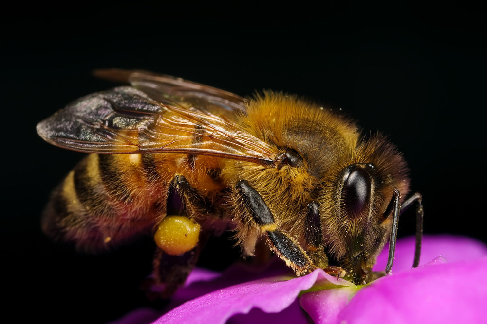 honeybee_in_a_wallflower_vi_by_dalantech.jpg