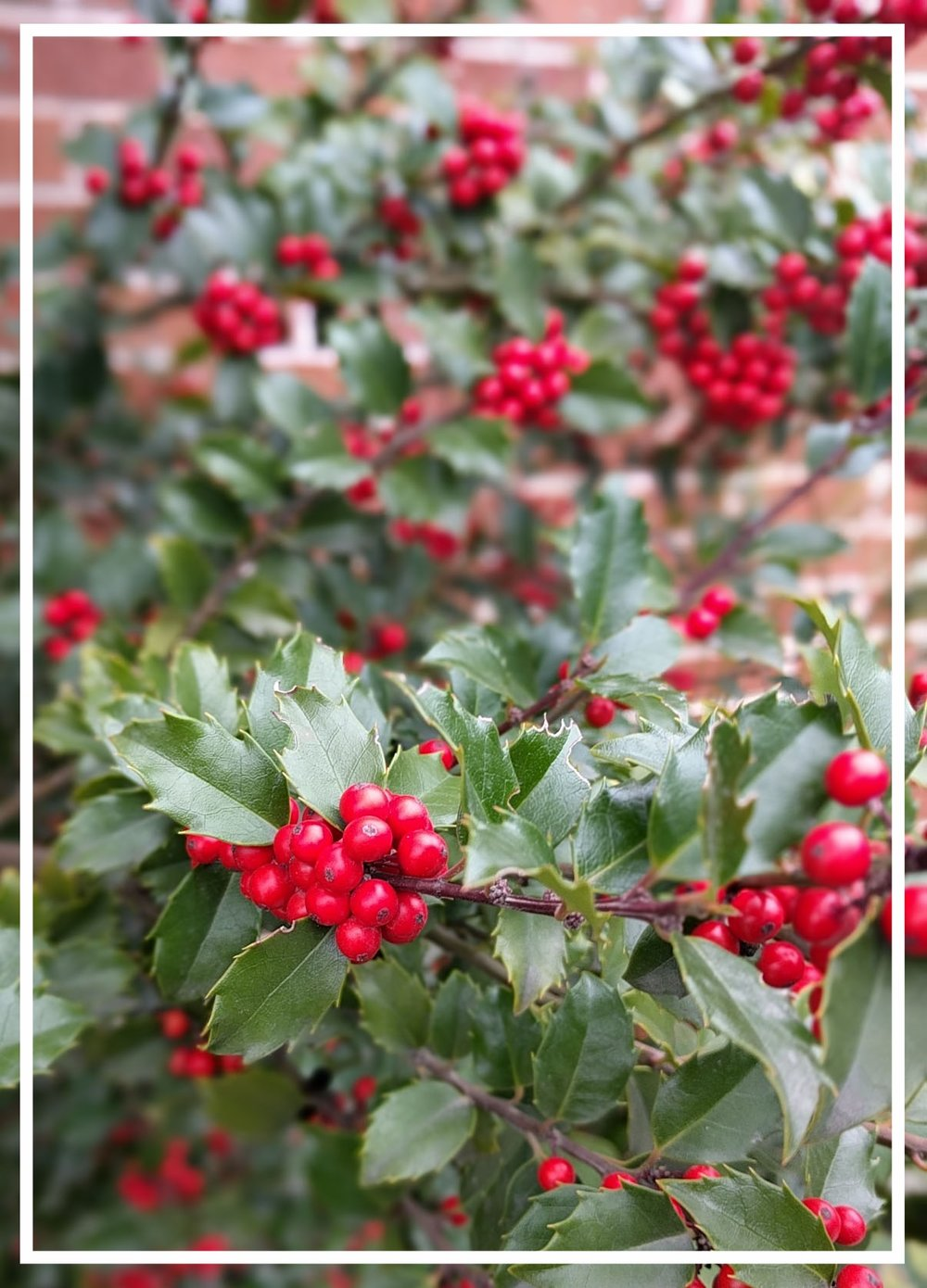Glossy evergreen leaves and red berries make this holly a winter showpiece.
