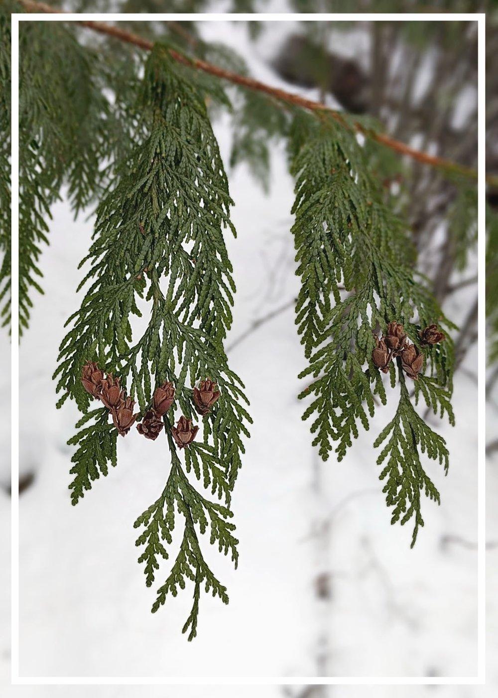 thuja-plicata-western-red-cedar.jpg