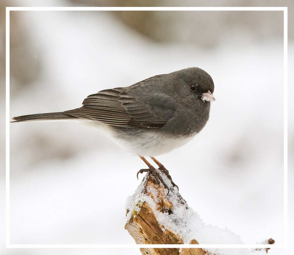 The dark-eyed junco is a year-round visitor to Spokane and Coeur D'Alene and is common even in urban gardens.