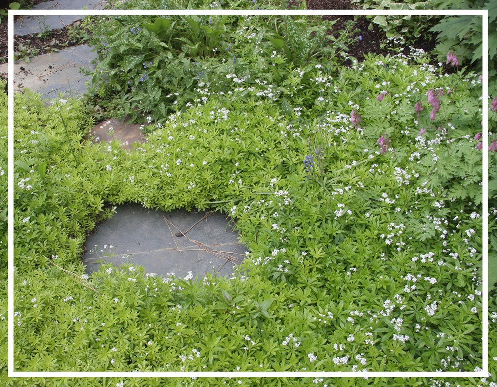 Sweet woodruff's foliage will lighten in part to full sun.
