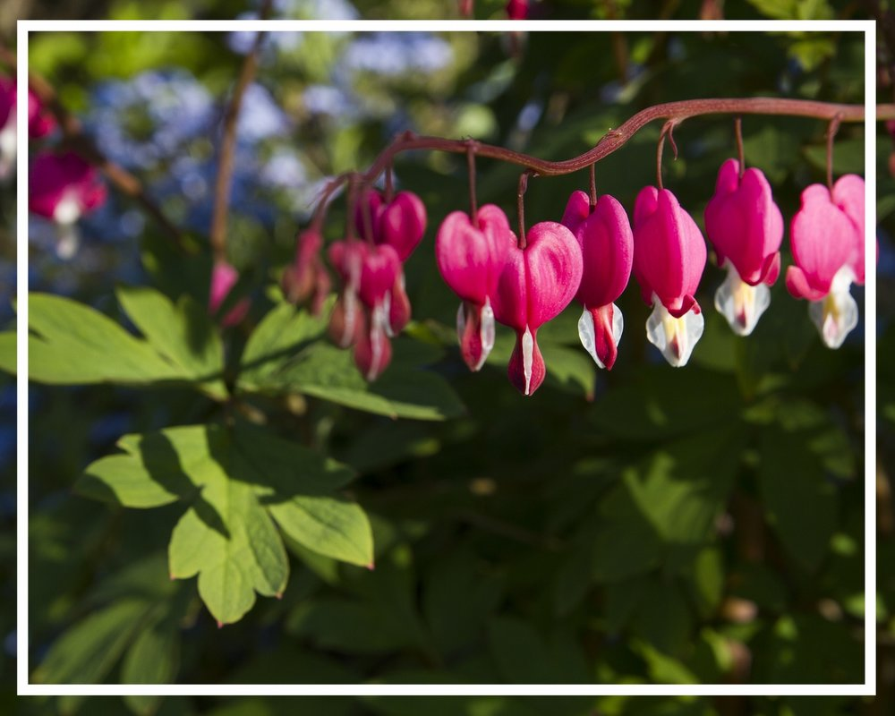 Bleeding heart gets its name from the heart-shaped flowers.