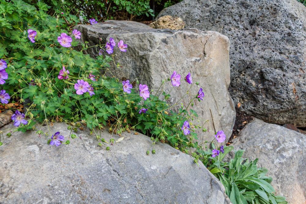 rozanne geranium in boulder retaining wall