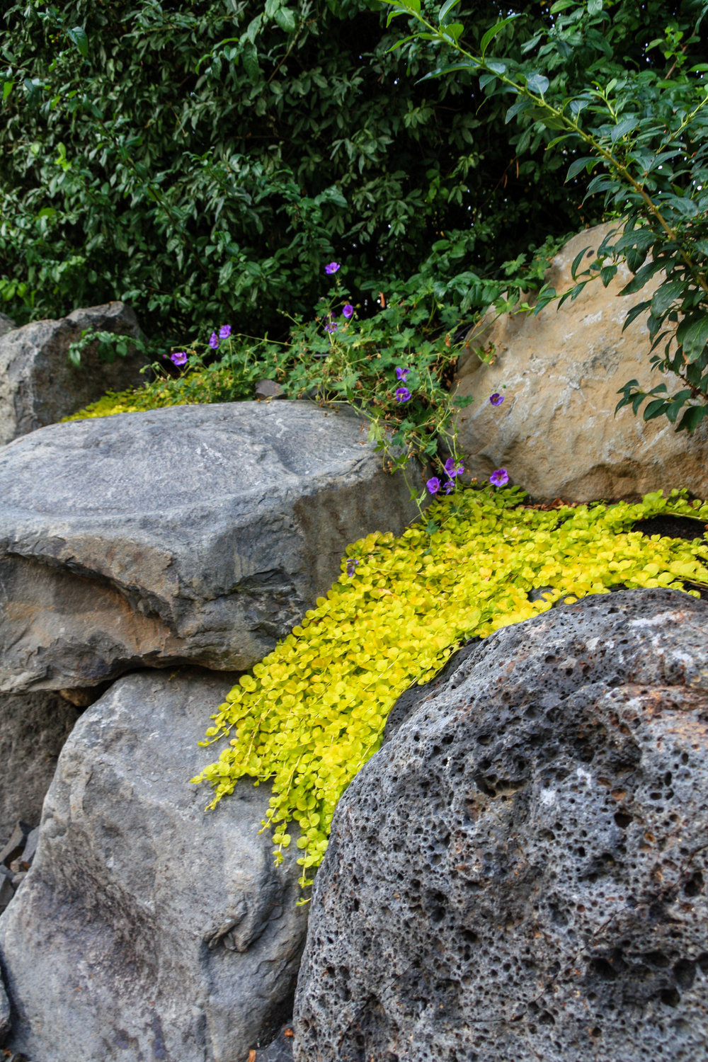 creeping jenny and rozanne geranium on boulder wall