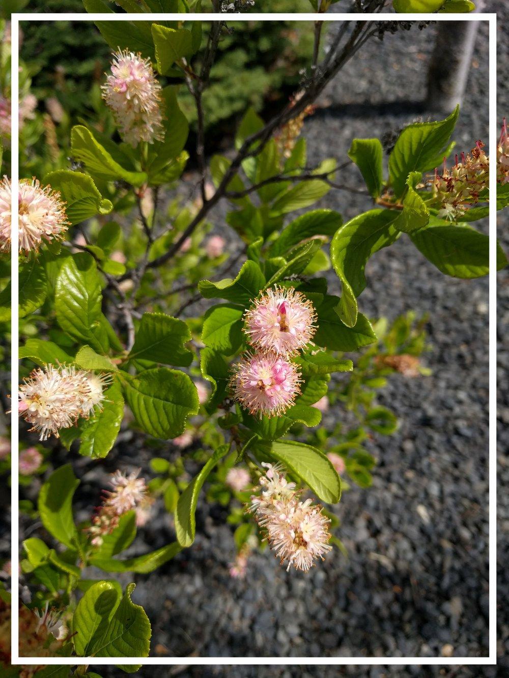 summersweet-clethra-alnifolia
