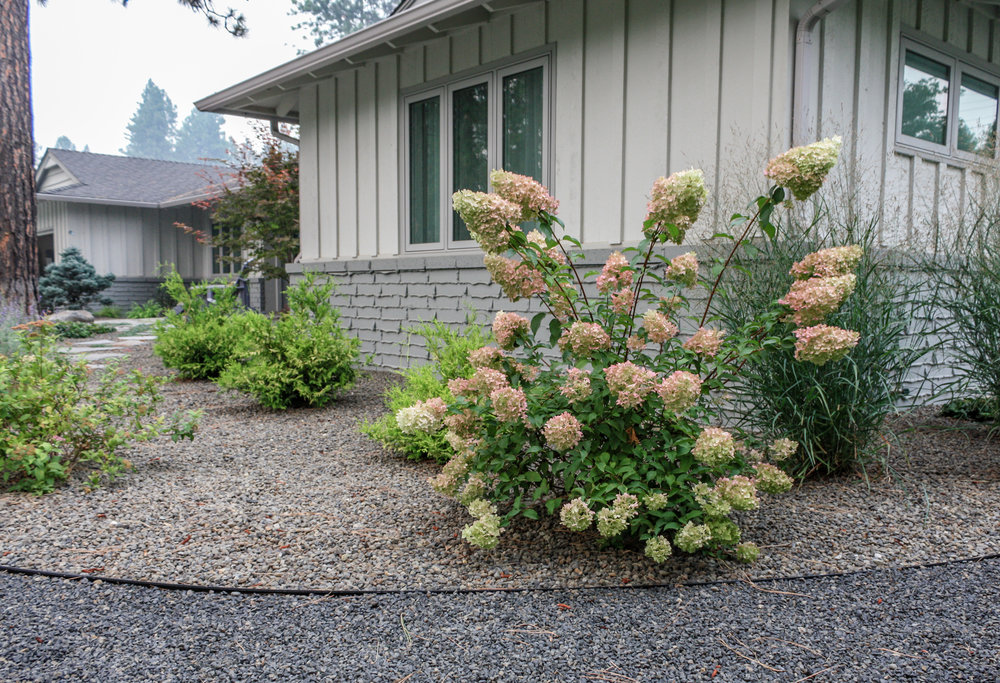 panicle hydrangea with rock mulch and gravel pathway