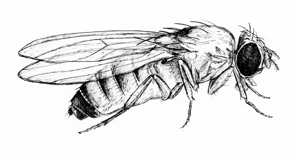 I wanted to add a drawing to this post so, here is a drawing of a female Drosophila melanogaster!