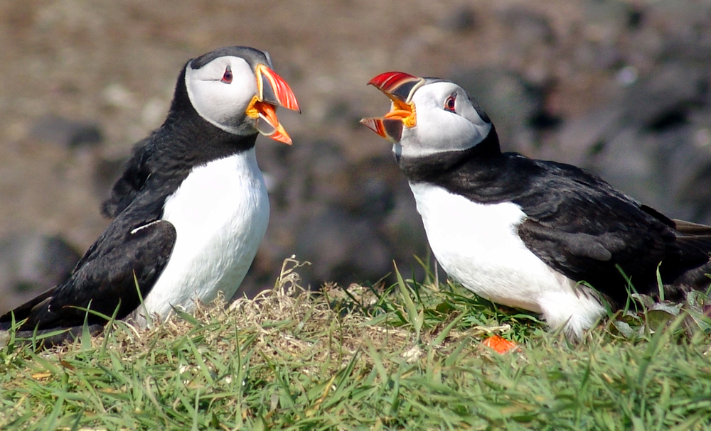 A clearly audible puffin