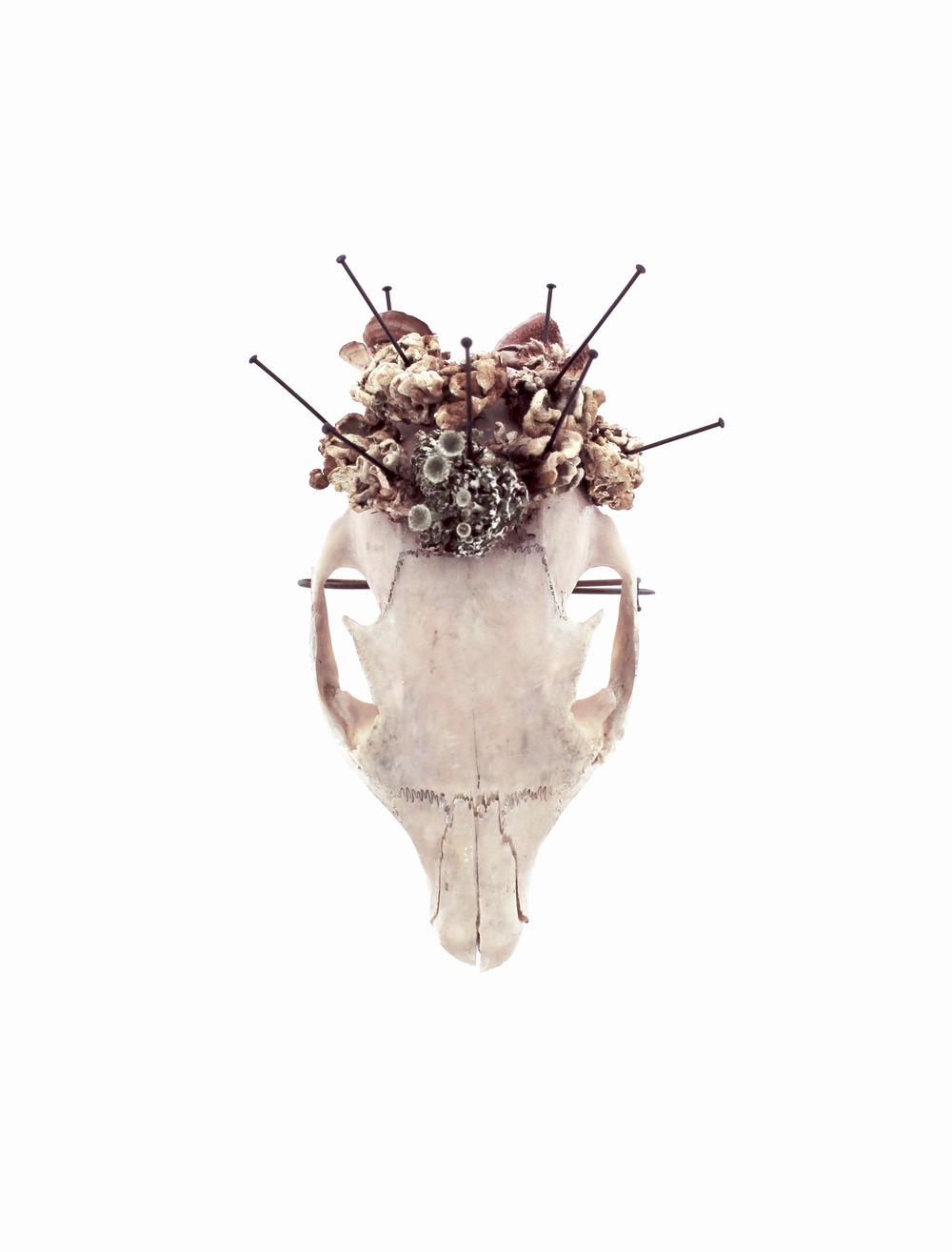Royal Mourning  squirrel skull, lichen, mushrooms, insect pins, steel 2014