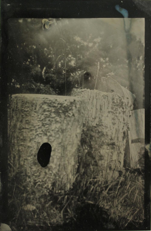 Lichens  tintype, 2017