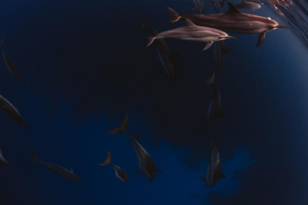 Dolphins Big Island