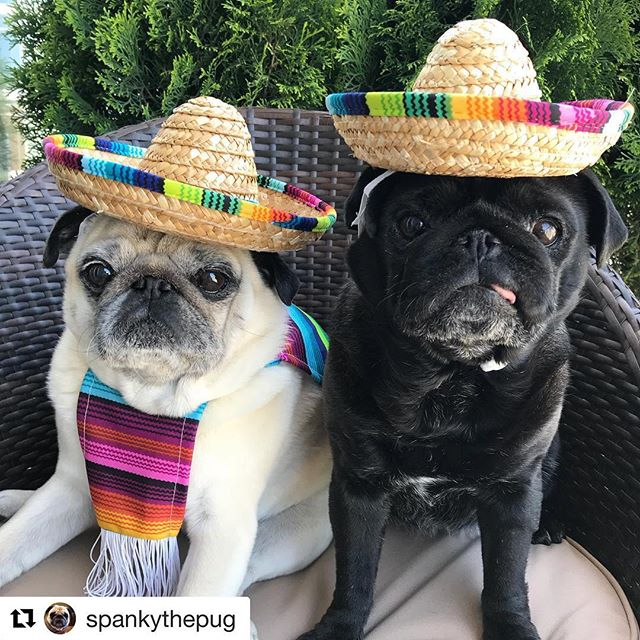This just felt right. 😂 Happy Cinco de Mayo! 🎉🎉 Hope your day is full of #champsandqueso! 🥂🍾🌮🌮#puglife #cincodemayo 📷: @spankythepug