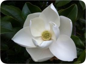 magnolia1.jpg