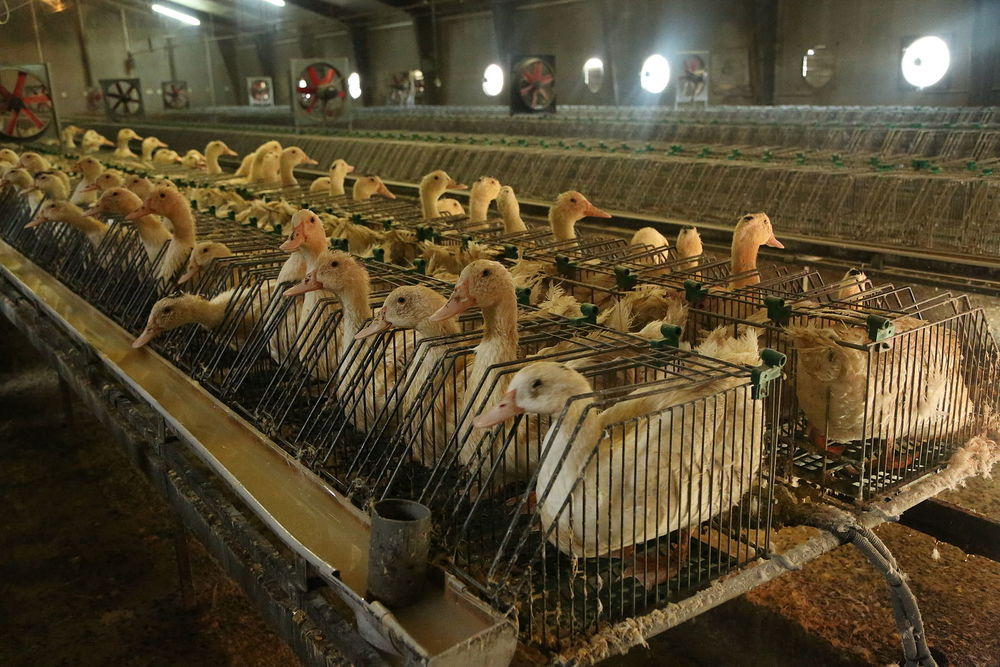Ducks crammed into tiny cages and force-fed to fatten livers to make foie gras