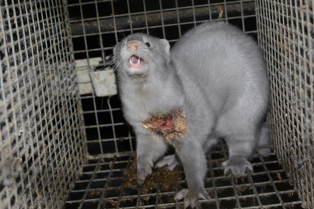 Image by  Oikeutta eläimille  via  Wikimedia Commons