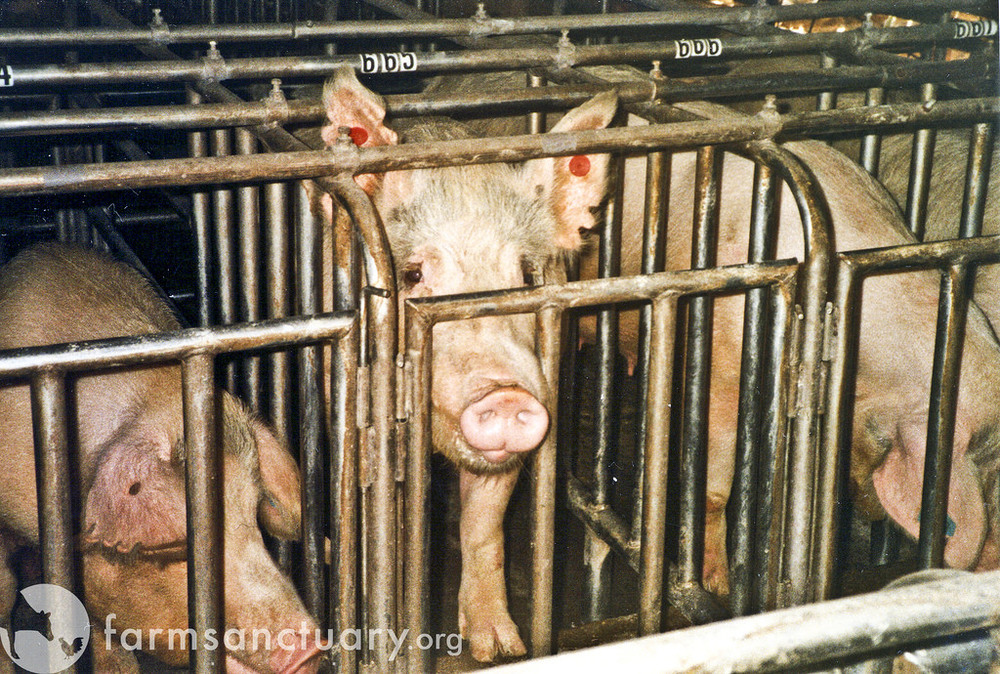 Pregnant pigs in gestation crates