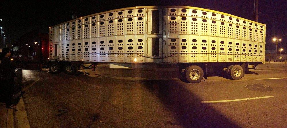 Bearing witness to trucks full of pigs sent to slaughter