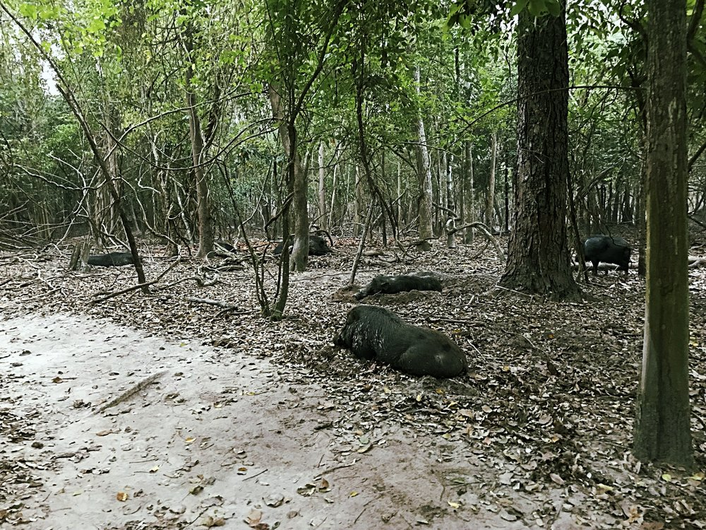 Wild hogs in the surrounding forest who we fed, so they were very calm around people