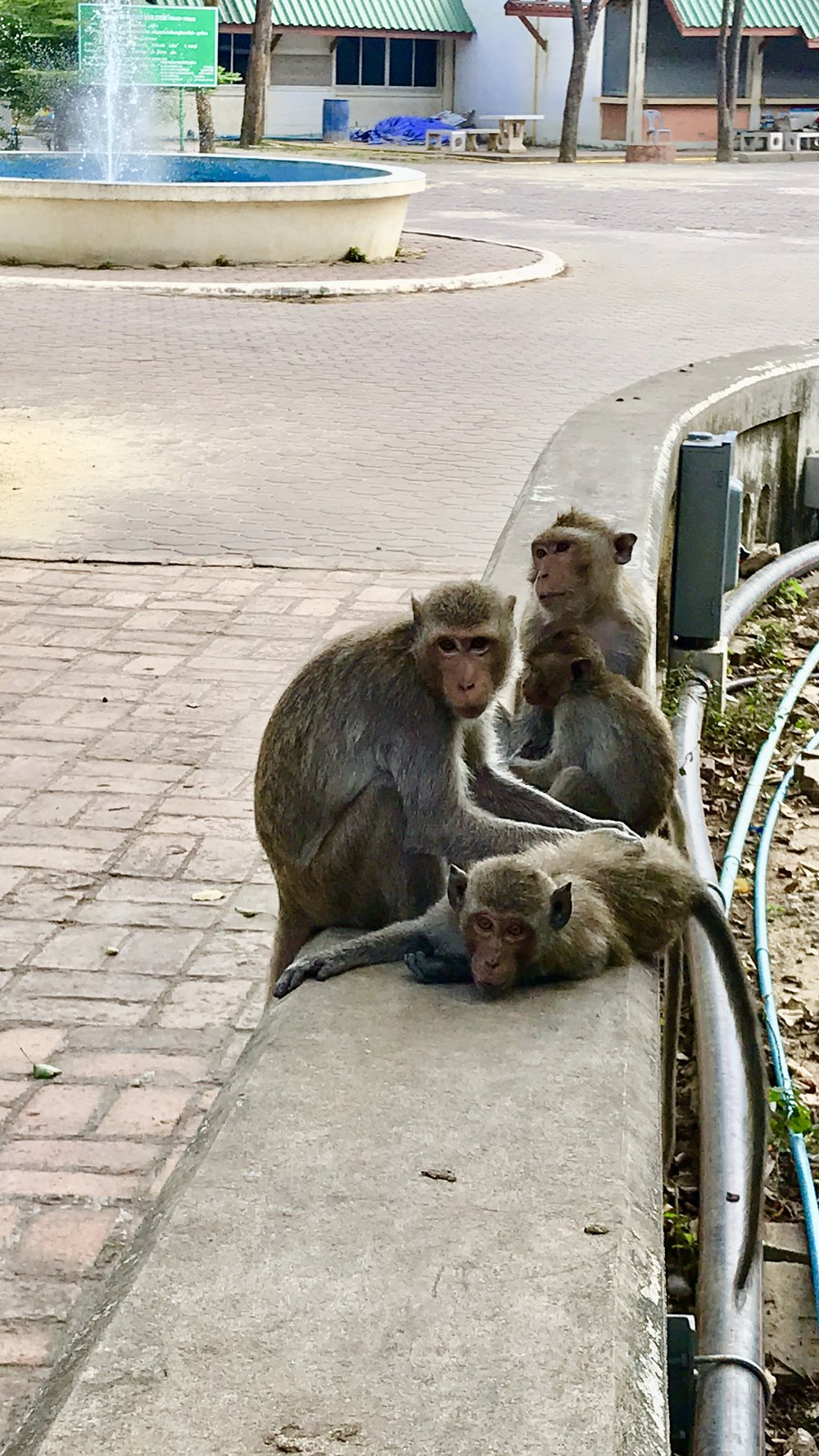 A family of street macaques outside of Khao Luang Cave