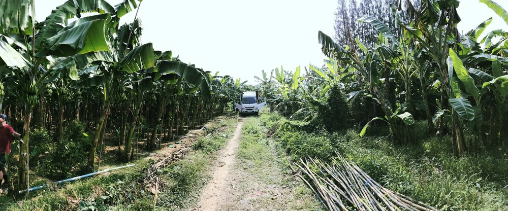 Banana tree plantation near Wildlife Friends Foundation Thailand