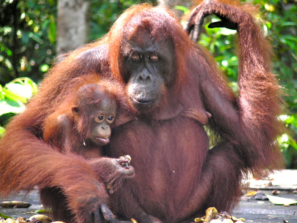 The victims of palm oil: Mama and baby orangutan in Borneo