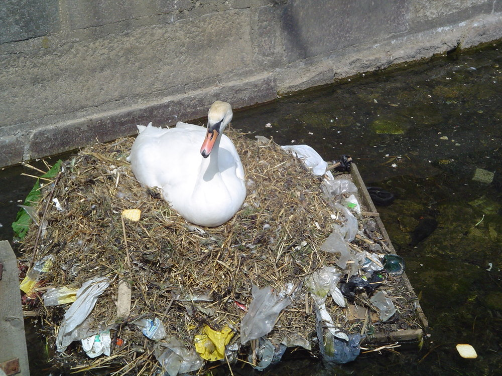 A swan nesting on plastic garbage