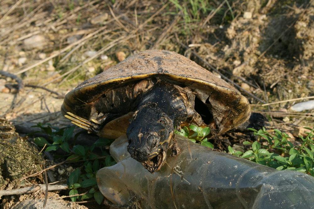 Dead sea turtle on a plastic water bottle