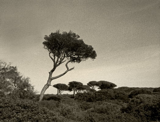 Luís Barreira  árvores, 1992  Fotografia  Gelatin Silver Print