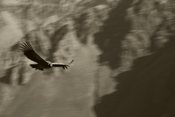 Luís Barreira  Condor - Vale do Colca - Perú  Fotografia