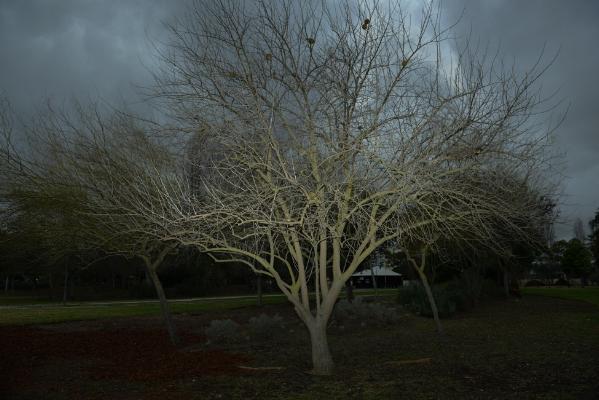 Luís Barreira  árvore, 2017  Fotografia  Série: no parque  arquivo:01_14577, 2017