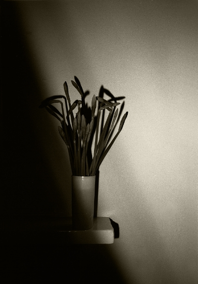 Luís Barreira  Daffodil (flowers), 1987  Fotografia  Gelatin Silver print  série: still life  arquivo: F_035-4924, 1987
