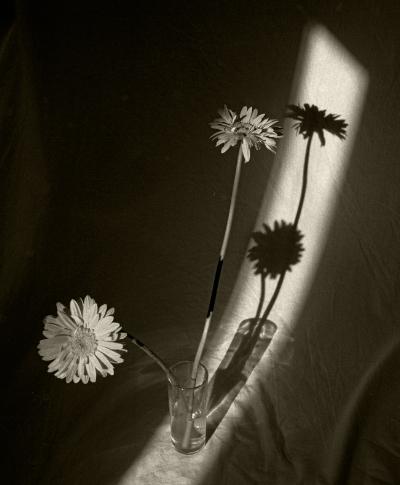 Luís Barreira  Gerberas, 1991  Fotografia  Gelatin Silver print  série: Still Life  arquivo:F_131_10012, 1991