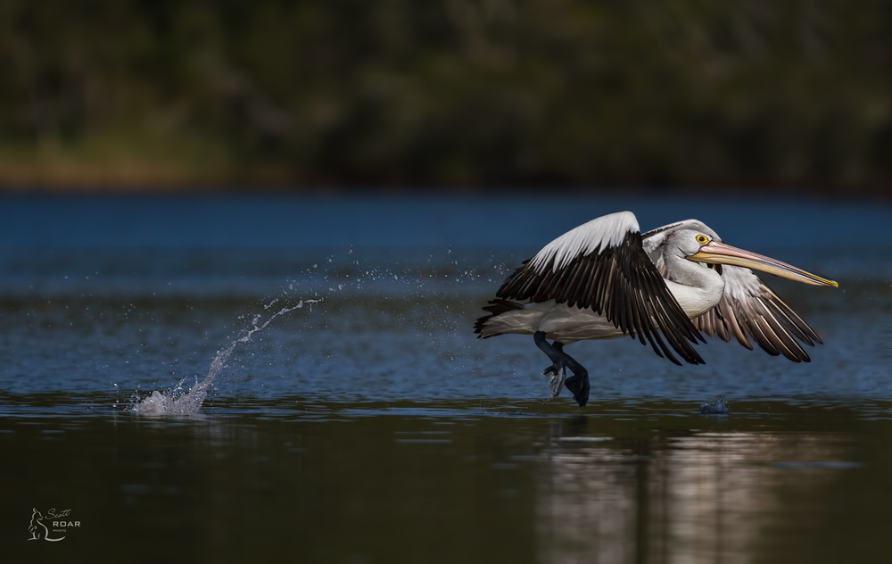 Pelican running on water. Canon 7D & 500mm F4