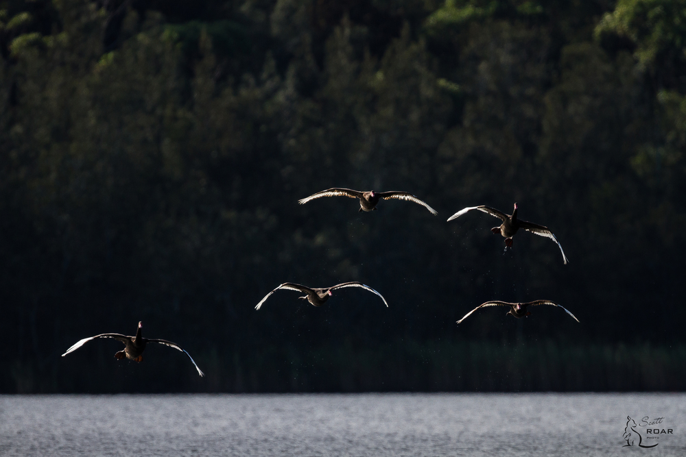 Swans flying. Canon 7D & 55-250mm F4-5.6 IS