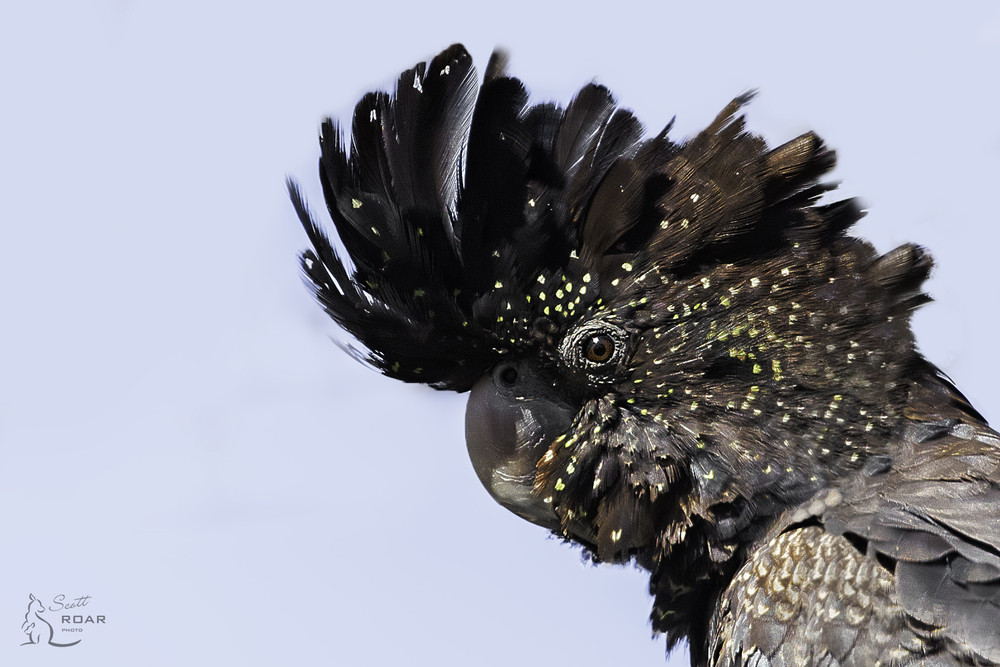 Close up of a Female Red-tailed Black Cockatoo