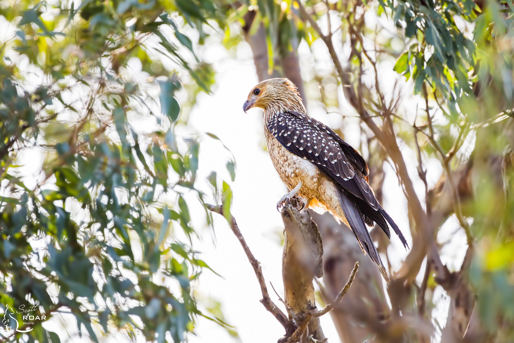 A Whistling Kite protecting its nest near Narrabri Lake.