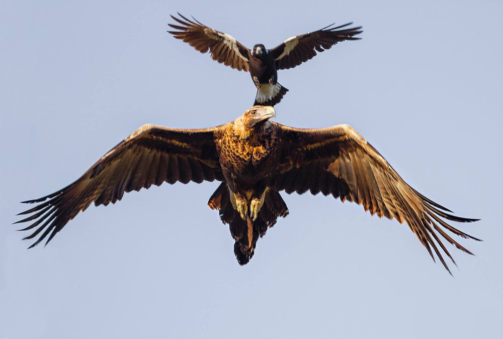wedge tailed eagle and magpie.jpg