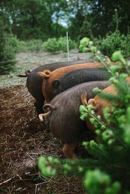 pork butts-400-110.jpg